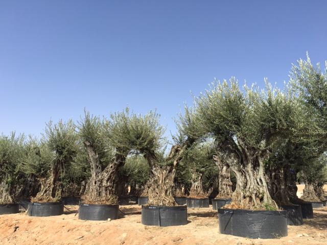 Real garden vivai vendita olivi for Vendita piante da frutto sardegna