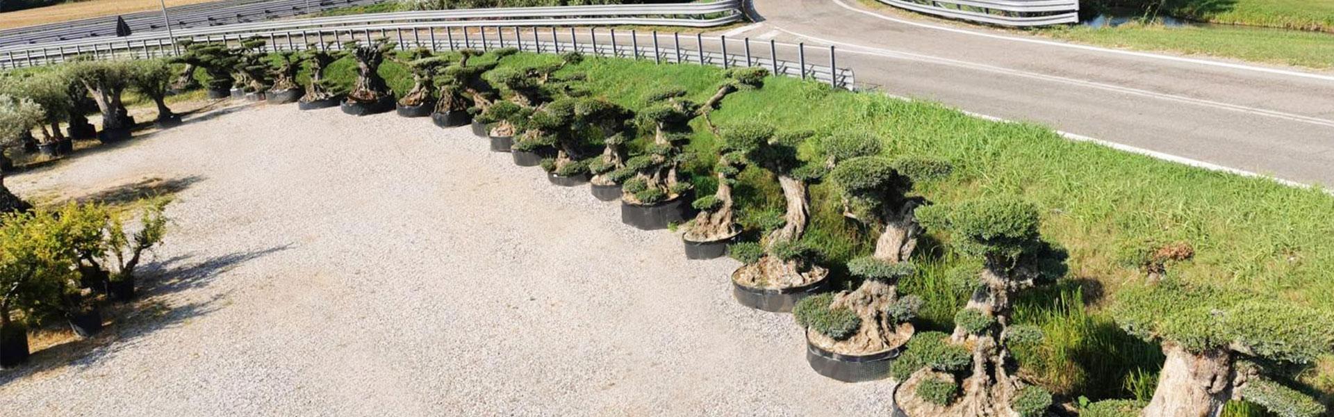 Vivaio Real Garden - vendita olivi