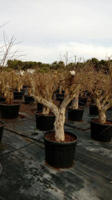 Melograno (Punica Granatum) Melograno circonferenza 40-55 cm Altezza da 2,0 metri a 2,5 metri - Disponibilità ELEVATE