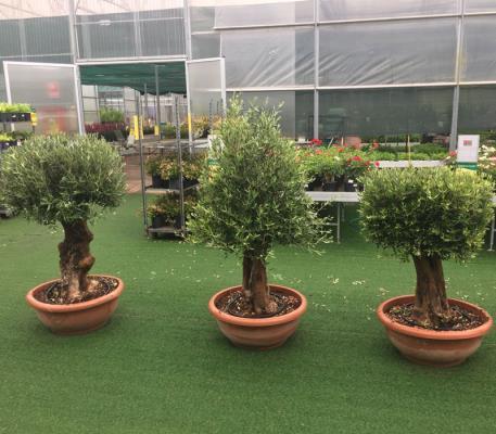 olivo in ciotola bonsai (forma a sfera/cubo/cono) circonferenza fusto 70/80 cm altezza 1,50 m 1,80 m disponibilità elevate