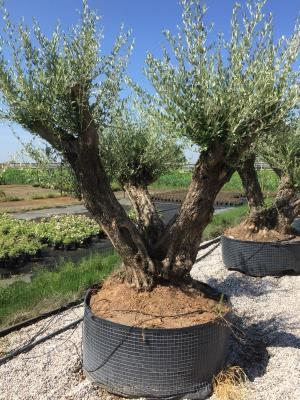 Triple olive tree - 90/110 stem circumference height 2.5 m / 3.0 m high availability