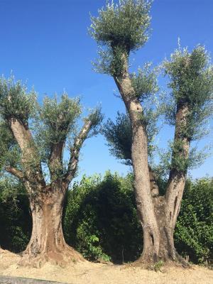 Olivo centenario circonferenza fusto 3/5 metri altezza da 5 fino a 8 metri - DISPONIBILITA' ELEVATE