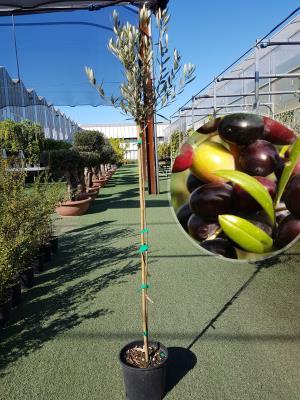 Olivo Arbequina Vaso 20cm altezza 1,60-1,70m