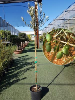 Olivo hojiblanca Vaso 20cm altezza 1,60-1,70m