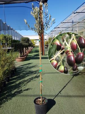 Olivo Empeltre Vaso 20cm altezza 1,60-1,70m