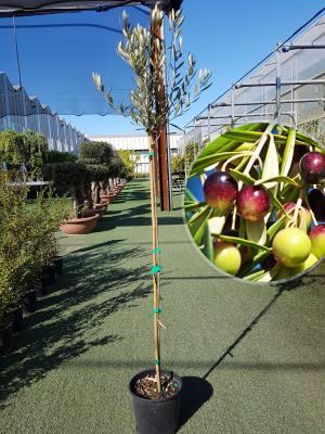 Olivo Manzanilla Vaso 20cm altezza 1,60-1,70m