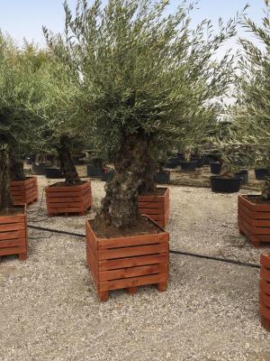 Olivi Bonsai in Teak di legno 80x80 circonferenza fusto 100/110 cm altezza totale 3 metri - Disponibilità Elevate