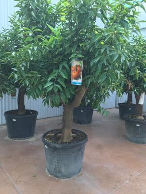 Pianta di Mandarino circonferenza fusto 35/40 cm altezza totale 180/200 cm disponibilità elevate