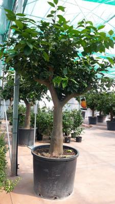 Pianta di arancio circonferenza fusto 35/40 cm altezza totale 220/230cm disponibilità elevate