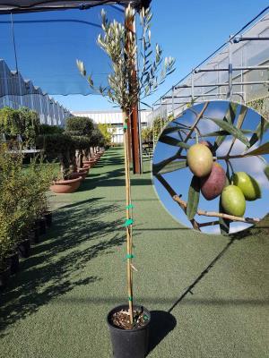 Olivo Cobrancosa Vaso 20cm altezza 1,60-1,70m