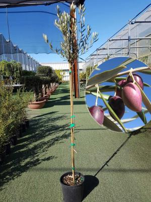 Olivo Cornicabra Vaso 20cm altezza 1,60-1,70m