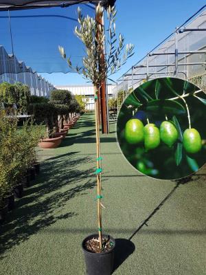 Olivo PicoLimon Vaso 20cm altezza 1,60-1,70m