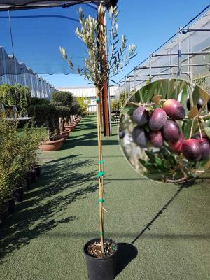 Olivo Picual Vaso 20cm altezza 1,60-1,70m