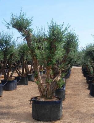 OLIVE WITH THREE TRUNKS – CIRCUMFERENCE 40/60 CM HEIGHT 3 / 3.5 M - HIGH AVAILABILITY
