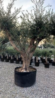 BRANCHED OLIVE CIRCUMFERENCE 150/180 CM BRANCHED CM HEIGHT OF 3.5 M TO 4.0 M - HIGH AVAILABILTY