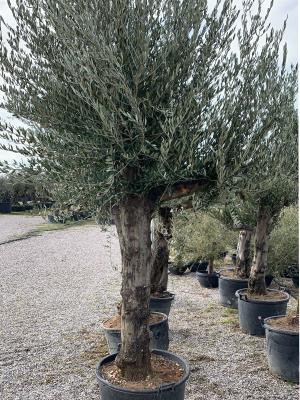 Olivo ramificato Circonferenza fusto 60/70 cm altezza vaso 40 cm altezza totale 2.5/2.7 m  DISPONIBILITA' ELEVATE