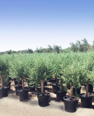 Olivo circonferenza fusto  20/30– altezza 140/160 cm - altezza vaso 45 cm – Olivo Coltivato in Contenitore - Disponibilità ELEVATE