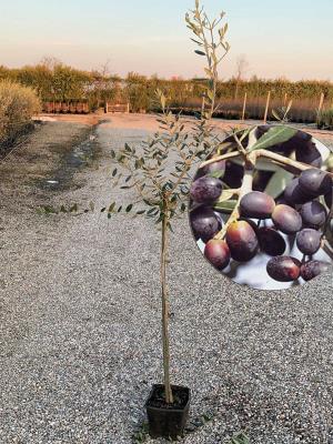 Olivo Leccino