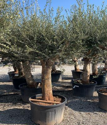 BRANCHED OLIVE CIRCUMFERENCE 50/60 CM BRANCHED CM HEIGHT OF 2.3 M TO 2.5 M - HIGH AVAILABILTY