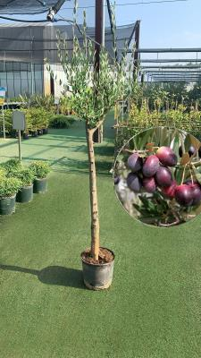 Olivo trees for production CIRCUMFERENCE  18/25 h 28 cm  HEIGHT OF 200/220 cm  - HIGH AVAILABILITY