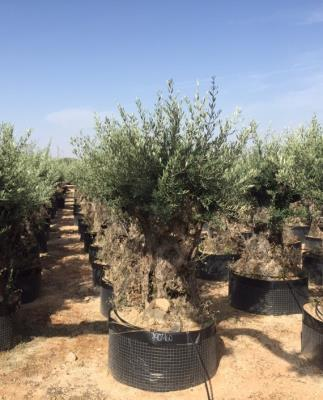 OLIVE BONSAI CIRCUMFERENCE 140/160 CM – HEIGHT 2.5/3.0 M - HIGH AVAILABILITY