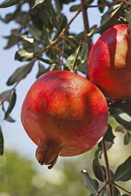 Pomegranates trees
